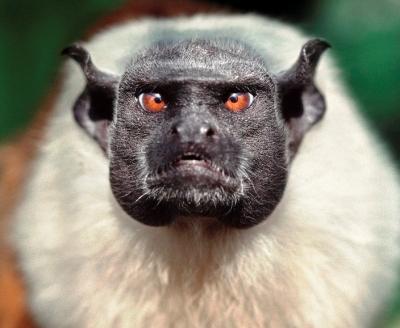 O ataque dos macacos saium