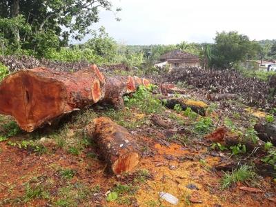 Árvores sendo derrubadas