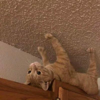 Gato aranha