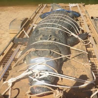 Após 10 anos de caçada, agentes capturam crocodilo de 600 quilos