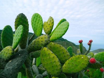 Empresa mexicana fabrica biocombustível a partir de cactáceas