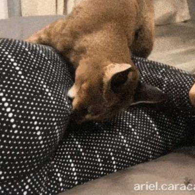 Gato X Calça