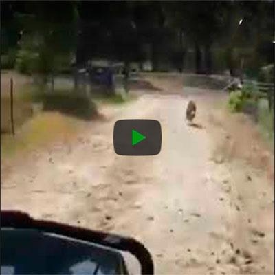 Cachorro furacão