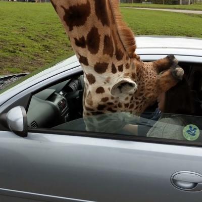 Girafa enfia a cabeça em carro e acaba quebrando vidro de janela