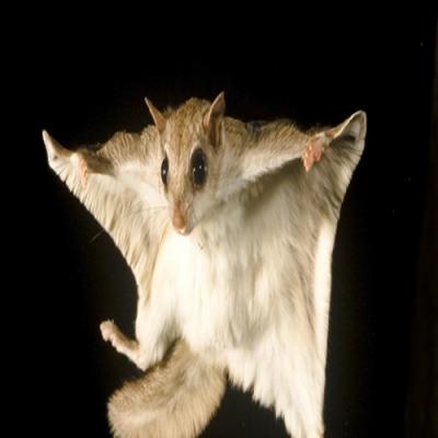 Você já viu um esquilo voando?