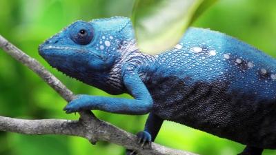 Veja um camaleão trocando de cores bem de pertinho