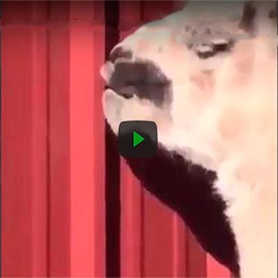 Uma lhama cantando hip hop era o vídeo que você precisava ver hoje