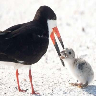 Fotógrafa registra ave marinha alimentando filhote com bituca de cigarro