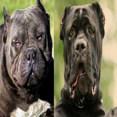 As raças de cães mais perigosas do mundo