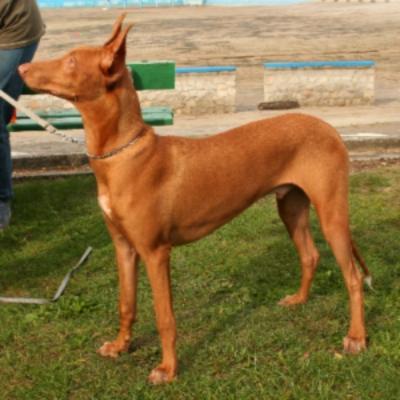 Qual foi a primeira raça de cachorro no mundo?