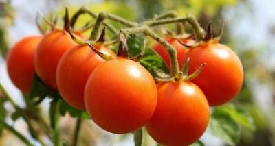 Como Plantar Tomate-Cereja em Casa – 13 Passos e Cuidados