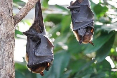 Cientistas flagram coronavírus destruindo células cerebrais de morcego