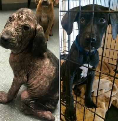 Cães antes e depois de serem adotados, a transformação é notável