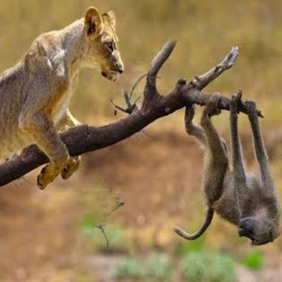 Turistas flagram leão subindo em árvore para caçar macaco