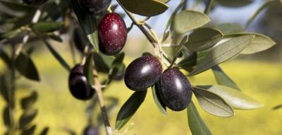 Já ouviu falar em olivoturismo?