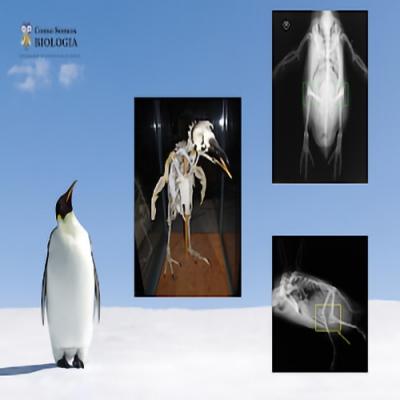 Pinguins têm joelho?