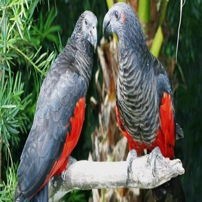 Papagaio-Drácula: o equilíbrio perfeito entre perigo e beleza