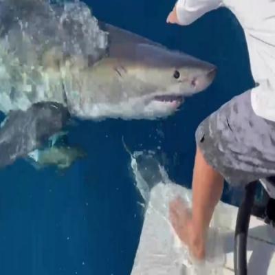 Grande tubarão branco arranca pedaço de barco na Flórida