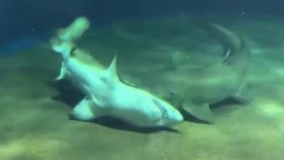 Tubarão salva a vida de seu amigo dentro de um aquário