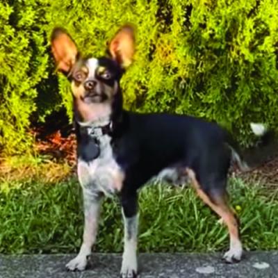 Cão fica envergonhado ao ser capturado pelo dono depois de fugir de casa