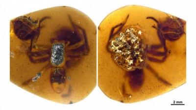 Mamãe e filhotes de aranha pré-histórica ficam presos em âmbar