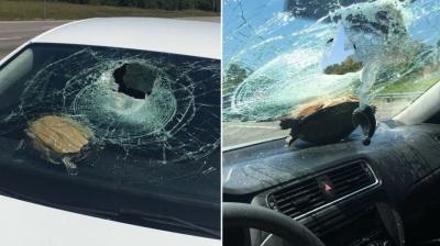 Tartaruga bate em carro e atinge mulher de 71 anos na cabeça