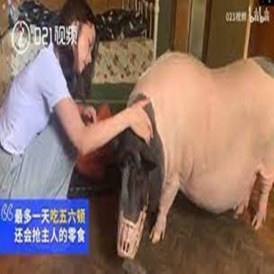 Um porco de estimação de 150 kg