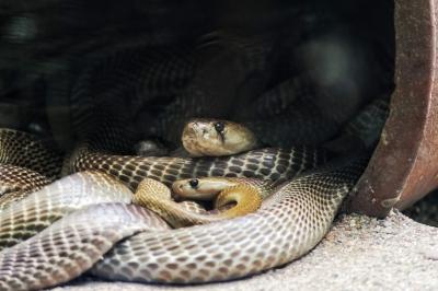 """Cobras gostam de formar """"panelinhas"""" com outras cobras, diz estudo"""