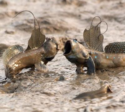 Veja o peixe que anda fora d'água