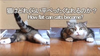 Homem decide testar o quão achatado gatos podem ficar
