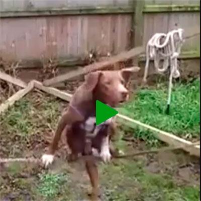 Já vi cachorro fazendo de tudo, mas slackline é a primeira vez
