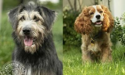 A Dama e o Vagabundo vai ganhar live action com cães de verdade