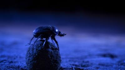 Luz artificial atrapalha o senso de direção dos besouros de esterco