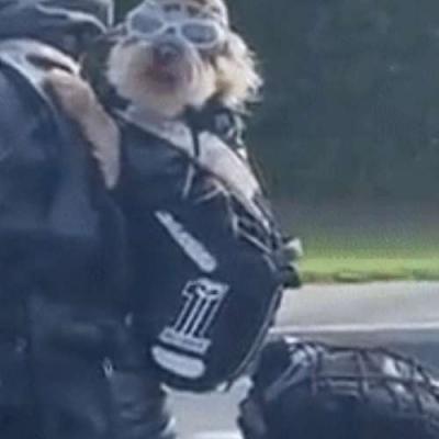 moto dogue