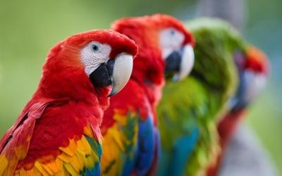 A origem do nome de raças de pássaros e aves