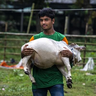 A incrível vaca de apenas 51 centímetros - A menor vaca do mundo