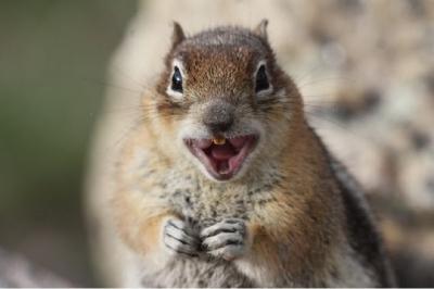 Você sabia que esquilos podem dar risada? Quer ouvir ela?