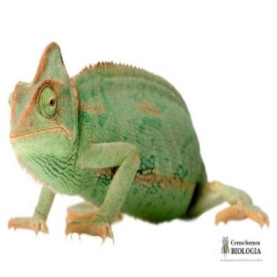 Quais as características do camaleão que o tornam um bom predador?