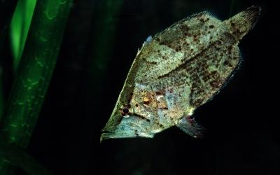 O peixe que imita uma folha de árvore morta para pegar uma presa desavisada