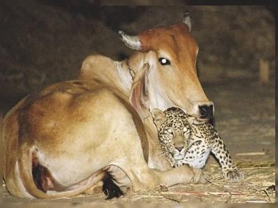A surpreendente história de amor entre uma vaca e um leopardo