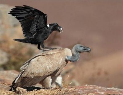 Imagens que mostram o quanto corvos são únicos