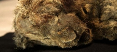Leãozinho morto há 28 mil anos está tão bem preservado que parece estar dormindo