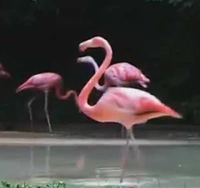 Flamingo dançando Michael Jackson