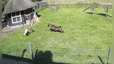 Galo e cabra se juntam para salvar galinha de águia
