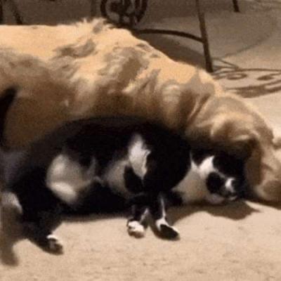 Amor entre gato e cachorro