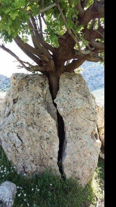 Essas árvores se recusam a morrer a todo o custo #3