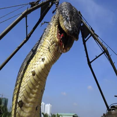 Conheça a maior cobra do mundo