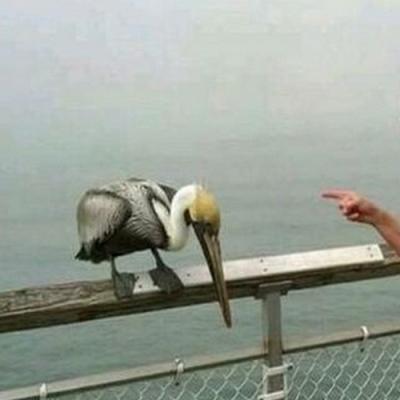 Pelicano tomou um corretivo da vovó