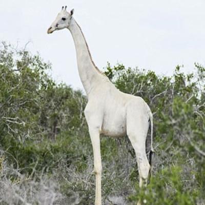 Raras girafas brancas encontradas no Quênia