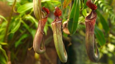 O que sobra de um rato depois dele ser comido por uma planta carnívora?